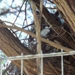 Resident Owl (2)
