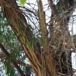Resident Owl (3)